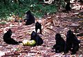 Crested Macaques Macaca nigra (7911480706).jpg