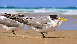 Tern - Greater crested tern in first-year plumage