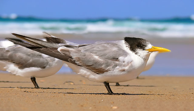 use spotting scope watch crested tern