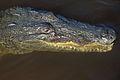 Crocodylus acutus Caye Caulker 03.JPG