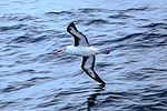 Crossing the Drake Passage from the South Shetland Islands to Cape Horn.Black-Browed Albatross (Diomedea melanophrys). (25921342521).jpg