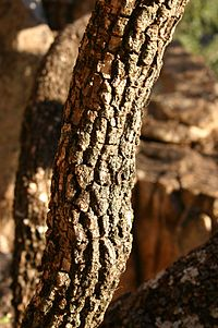 Croton gratissimus Wikipedia