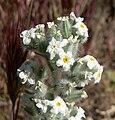 Cryptantha virginensis 5.jpg