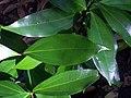 Cryptocarya laevigata - leaves.jpg
