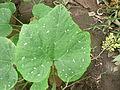 Cucurbita argyrosperma T2016PL2 - hoja marmoreada o manchada (mottled leaf).JPG