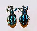 Curculionidae - Rhinoscapha insignis.JPG