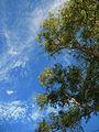 Curico, arboles en cerro Condell (9381603264).jpg