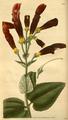 Curtis's Botanical Magazine, Plate 3041 (Volume 58, 1831).png