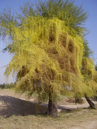 Parasitic plant - Cuscuta, a stem holoparasite, on an acacia tree in Pakistan