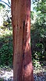 Cut Cork Oak - Flickr - gailhampshire.jpg