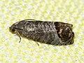 Cydia pomonella - Codling moth - Плодожорка яблонная (39472148010).jpg