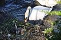 Cygnus olor (Küken) - Arboretum 2011-05-28 18-33-18.JPG
