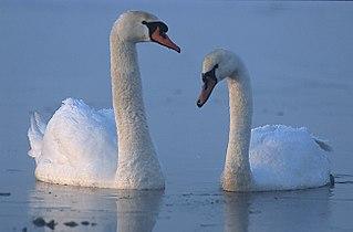 Swan large water bird