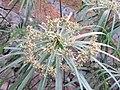 Cyperus alternifolius - Umbrella Palm at Wayanad.jpg