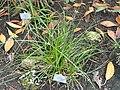 Cyperus entrerianus - Copenhagen Botanical Garden - DSC07956.JPG