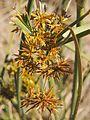 Cyperus gilesii flowers.jpg