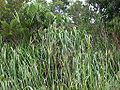 Cyperus monophyllus sititou01.jpg