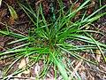 Cyperus tetraphyllus Eastwood.jpg