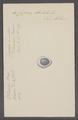 Cypraea obvelata - - Print - Iconographia Zoologica - Special Collections University of Amsterdam - UBAINV0274 088 02 0072.tif