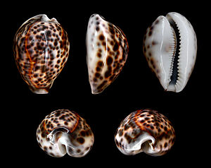 Cypraea tigris - Five views of a shell of Cypraea tigris