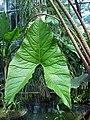 Cyrtosperma johnstonii0.jpg