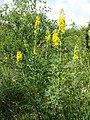 Cytisus nigricans (subsp. nigricans) sl16.jpg