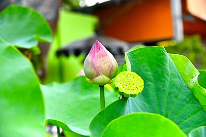 D85 1545 Nelumbo Lotus Photographed by Trisorn Triboon.jpg