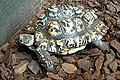 DSC09769 - Leopard Tortoise (37223996175).jpg