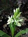 Dactylorhiza sambucina sl33.jpg