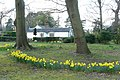 Daffodils at Chipstead - geograph.org.uk - 1227118.jpg