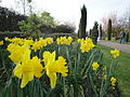 Daffodils at Regent's Park in March 2012.JPG