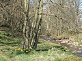 Daffodils on the bank of the River East Allen below Peasmeadows - geograph.org.uk - 1335807.jpg