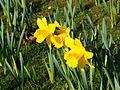Daffs in the Spring (3389706391).jpg