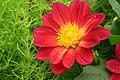 Dahlia at lalbagh flower show 7179.JPG