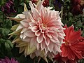 Dahlia from lalbagh 1945.JPG