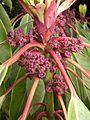Daphniphyllum macropodum 120502-2.jpg