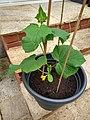 Dar cucumber plant.jpg