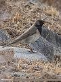 Dark-throated Thrush (Turdus ruficollis) (33875450231).jpg