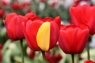 Mutation - Image: Darwin Hybrid Tulip Mutation 2014 05 01
