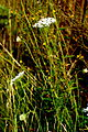 Daucus carota L. (8070446454).jpg