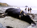 Dead Humpback Whale in Big Sur CA.png