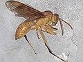 Dead Yellow wasp.jpg