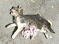 Dead cat 1380901.jpg