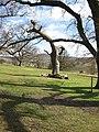 Dead oak, Eastnor Deer Park - geograph.org.uk - 746714.jpg