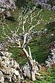 Dead tree, Binevenagh - geograph.org.uk - 1553511.jpg