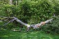 Dead tree trunk at Hatfield Forest Essex England.jpg