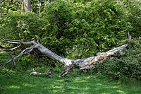 Dead tree trunk at Hatfield Forest Essex England.jpg