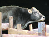 Dehorned Cow in Armenia.tif