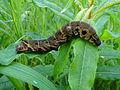 Deilephila elpenor caterpillar.jpg