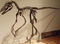 DeinonychusAntirrhopus RoyalOntarioMuseum.png